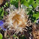 Dried Artichoke Flower by © Loree McComb