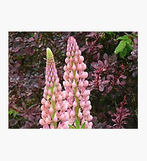 happy marriage of berberis and lupin Photographic Print