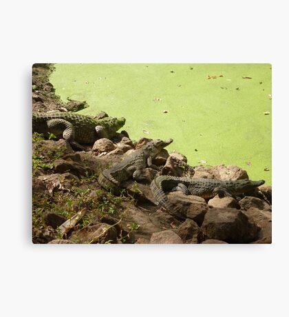 Kachikally Crocodile Park  Canvas Print