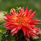 Magnificent Dahlia by hummingbirds