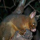 Ring-tailed Possum by Matthew Walmsley-Sims