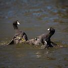 Coots Being Aggressive by CarolM