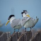 Crested Terns by D-GaP