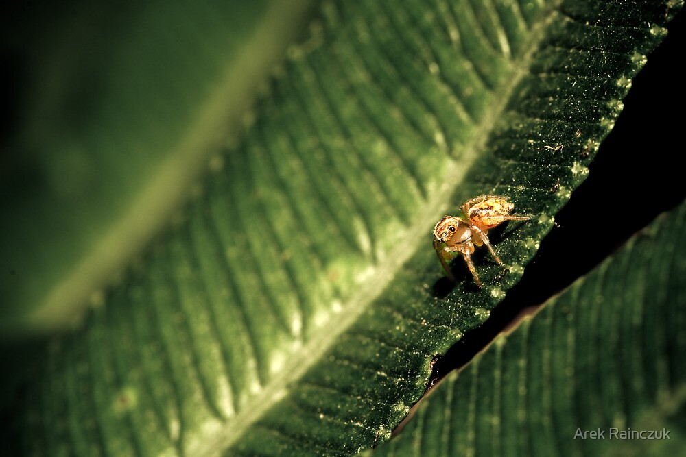 Jumping spider on a leaf by Arek Rainczuk