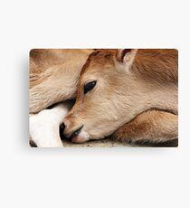 1 day old bull calf Canvas Print