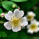 Wild Rose by Sheri Nye