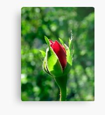 First Day Of My Small Red Rose Metal Print