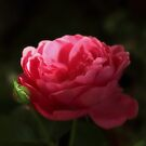 Soft Red Rose In The Evening Light by hurmerinta