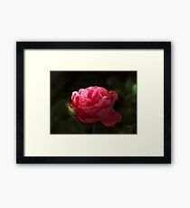 Soft Red Rose In The Evening Light Framed Print
