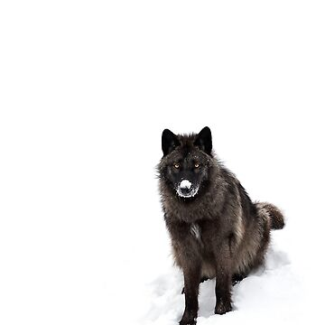 Black Wolf in winter by darby8