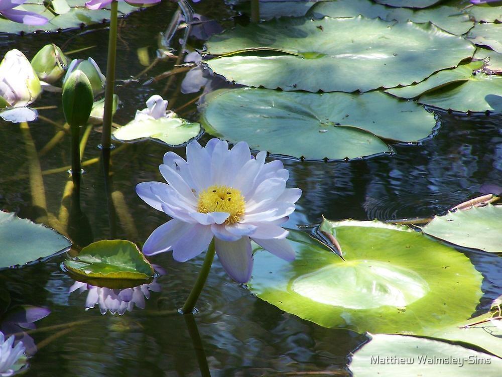 Water Lily by Matthew Walmsley-Sims