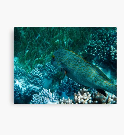 Spotted Coral Eating Wrass - Great Barrier Reef, Queensland Canvas Print