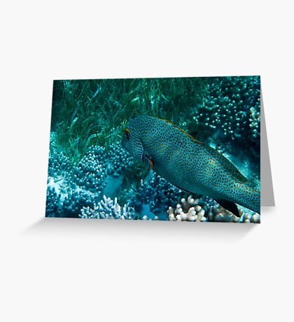 Spotted Coral Eating Wrass - Great Barrier Reef, Queensland Greeting Card