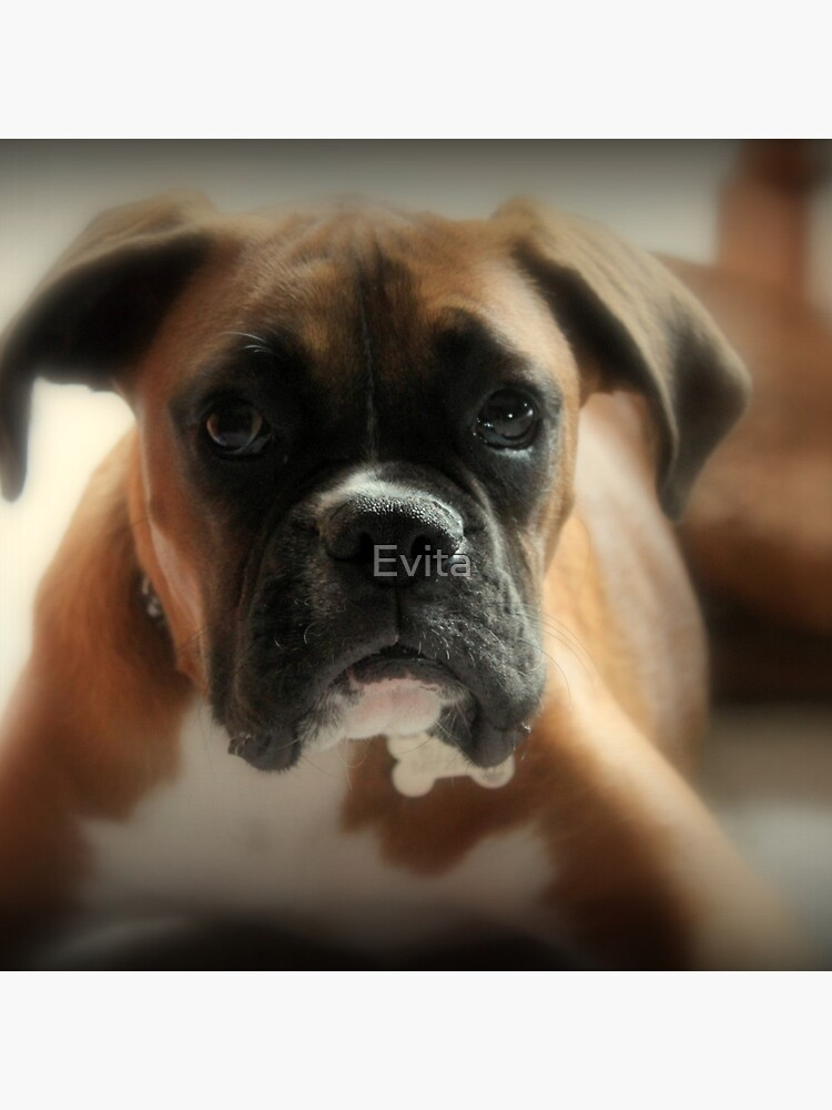 Gesicht der Unschuld ~ Boxer-Hundeserie von Evita