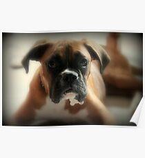 Gesicht der Unschuld ~ Boxer-Hundeserie Poster