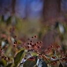 Mountain Laurel Bokeh by Aaron Campbell