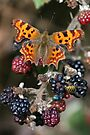 Comma on Blackberries by John Keates