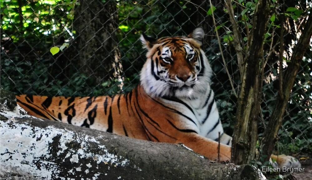 A Tiger by Eileen Brymer