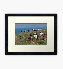 Atlantic puffin community Framed Print