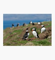 Atlantic puffin community Photographic Print