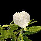 white flora by hutofdesigns