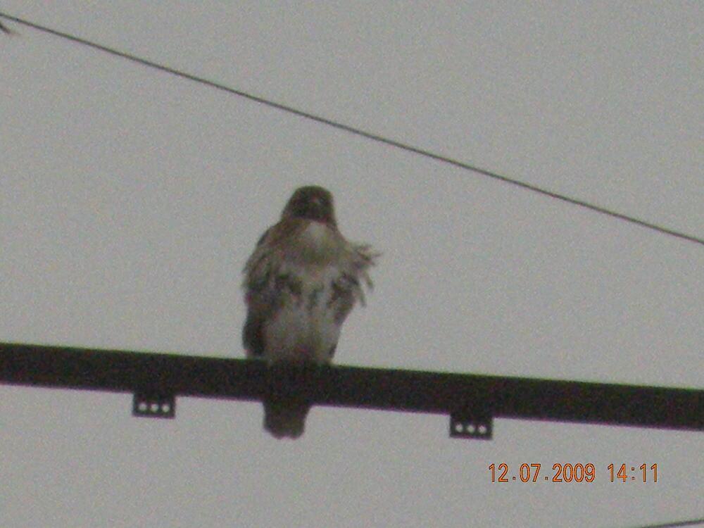 Mom red-tailed hawk at Rhode Island Hospital by deborahpuerini
