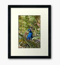 Indian Peafowl Framed Print