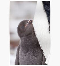 Adelie Penguin Chick Poster