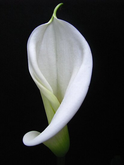 Young and lovely Calla Lily by Gloria Abbey