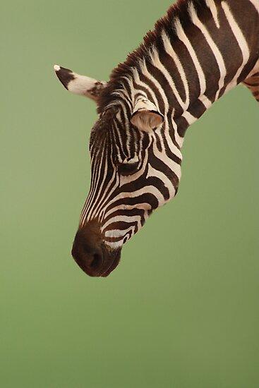 Zebra by Lori Peters