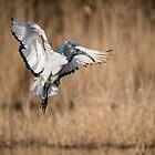Sacred ibis in flight, Oasi WWF Lago di Alviano, Umbria, Italy by Andrew Jones