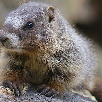 Baby Marmot by livehonestly