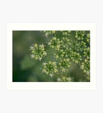 Parsley flowers Art Print