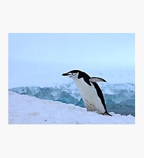 Chinstrap penguin in Antarctica, 4 Photographic Print