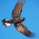 Carnaby's Cockatoo in Full Flight by margowen