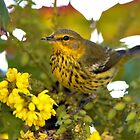 Cape May Warbler with Flowering Mahonia by walkswithnature