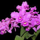 Beautiful Cattleya Orchid by vette