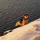husky at sunset by distracted