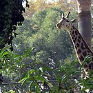 96 - GIRAFFE AT BARCELONA ZOO (D.E. 2008) by BLYTHPHOTO