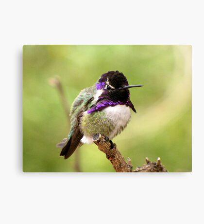 Costa's Hummingbird ~ Male Canvas Print