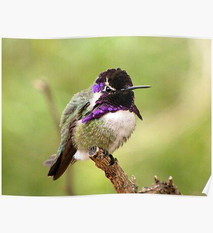 Costa's Hummingbird ~ Male Poster