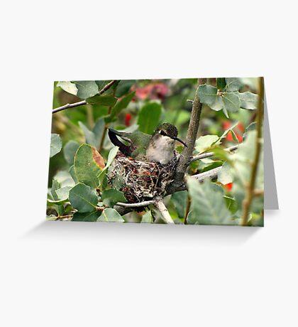 Costa's Hummingbird ~ Female; Nesting Greeting Card