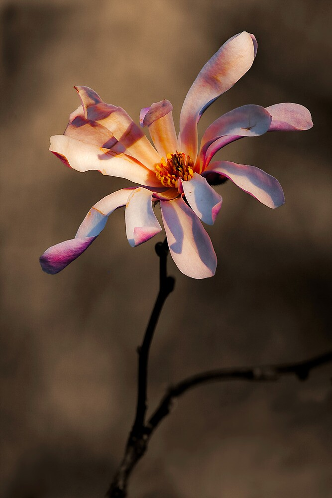 MAGNOLIA SPLENDOR by Sandy Hill