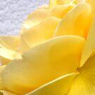 Yellow Petal Rose by marinar