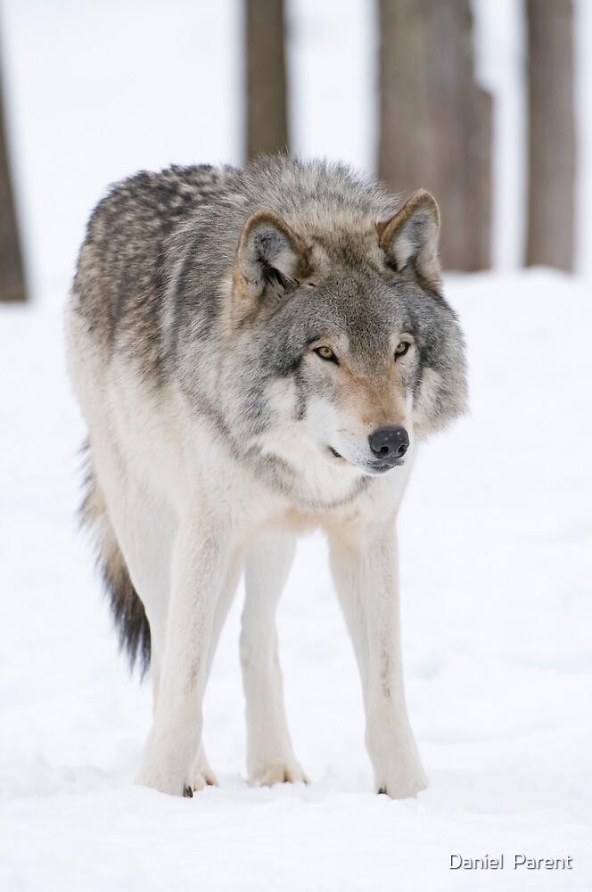 Lone Timberwolf by Daniel  Parent