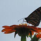 Monarch in the Sun by shutterbug2010