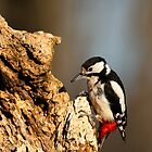 Great Spotted Woodpecker, Oasi WWF Lago di alviano, Umbria, Italy by Andrew Jones