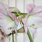 Pink & White Amaryllis by AnnDixon