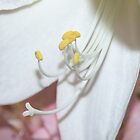 Amaryllis Macro by AnnDixon