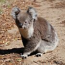 Koala's on The Mornington Peninsula by Michael Rowley